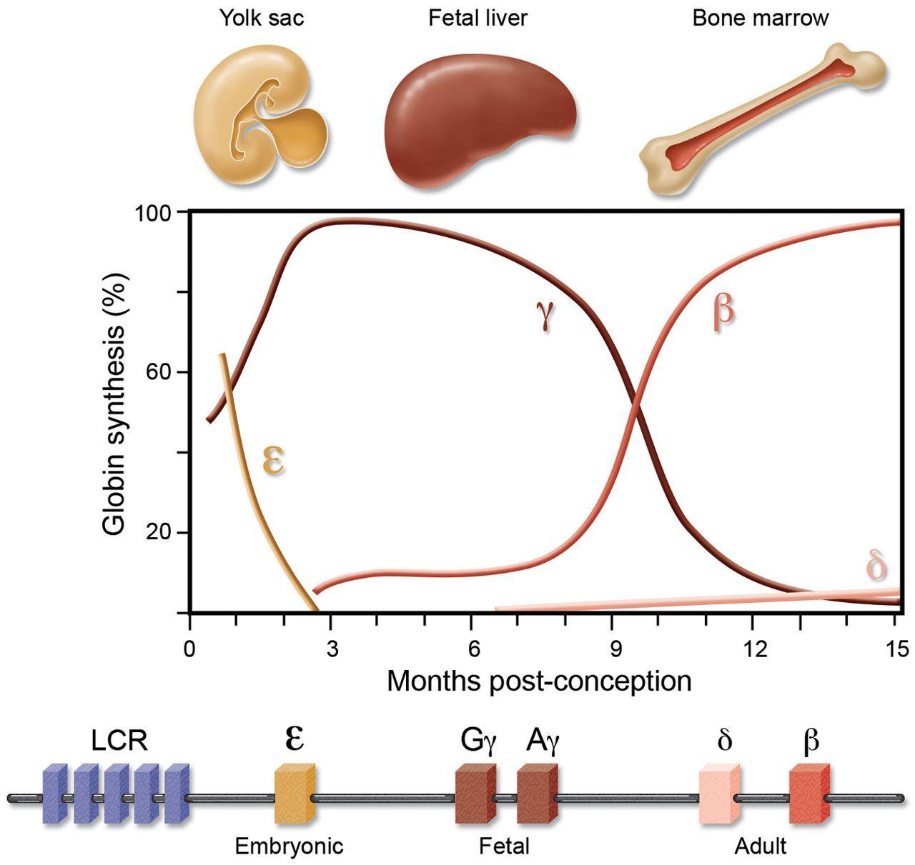 Image result for fetal haemoglobin Fetal, Hematology