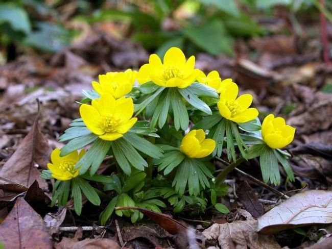 Spring Primroses: photo with names