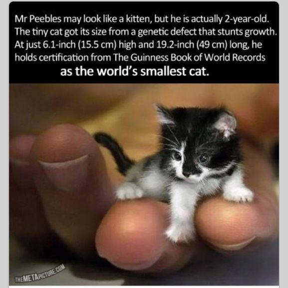 mr peebles the worlds smallest cat worlds smallest cat mr peebles may look like a kitten but he is actually 2 years old the tiny cat got its size