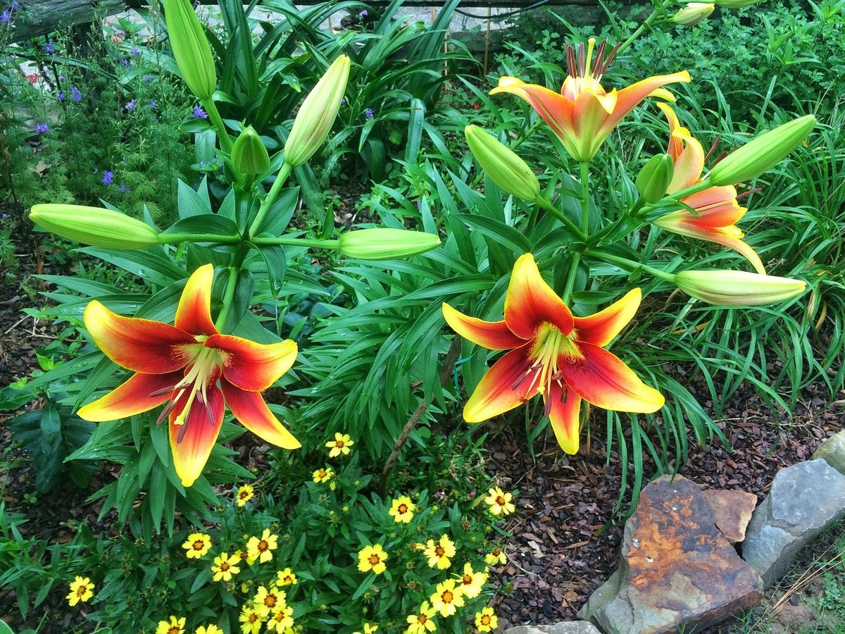 Sumpin important about lilies gardens sumpin important about lilies now listen up all yall izmirmasajfo
