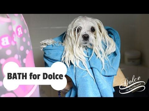 Grooming Bathtime For Dolce How To Bathe A Maltese Dog At Home