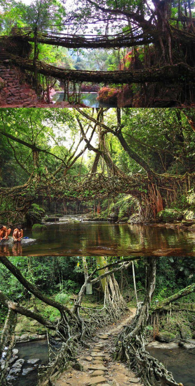 root bridges of cherrapunji meghalaya india