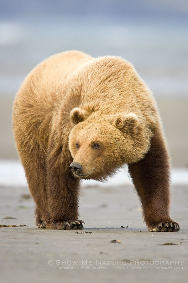 Brown Bear Ursus Arctos Cruising The Beaches Of Hallo Bay Alaska Bears On The Beach Show Me Nature Photography Bear Brown Bear Pet Birds