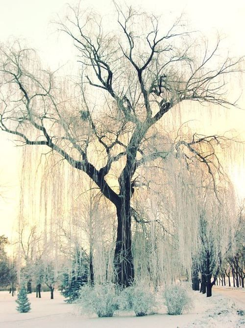 Snowy Willow Tree Winter Photography Winter Trees Photo