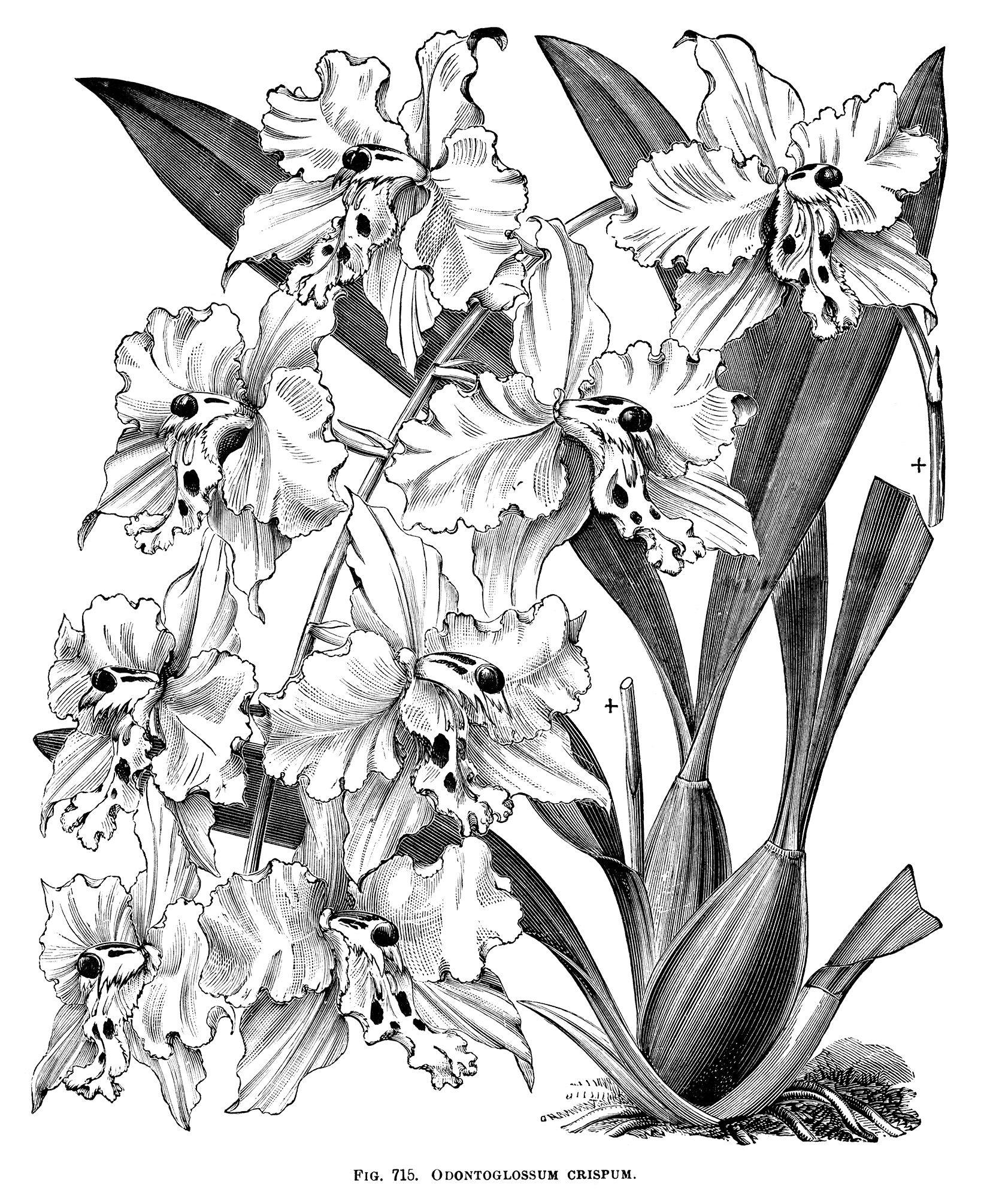 Odontoglossum Crispum, orchid clip art, black and white graphics ...