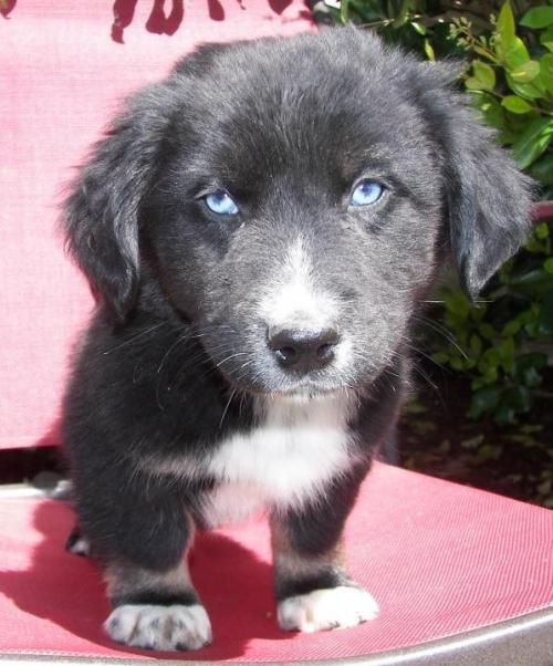 Adopt Ferris Gorgeous Blue Eyes On Australian Shepherd Dogs