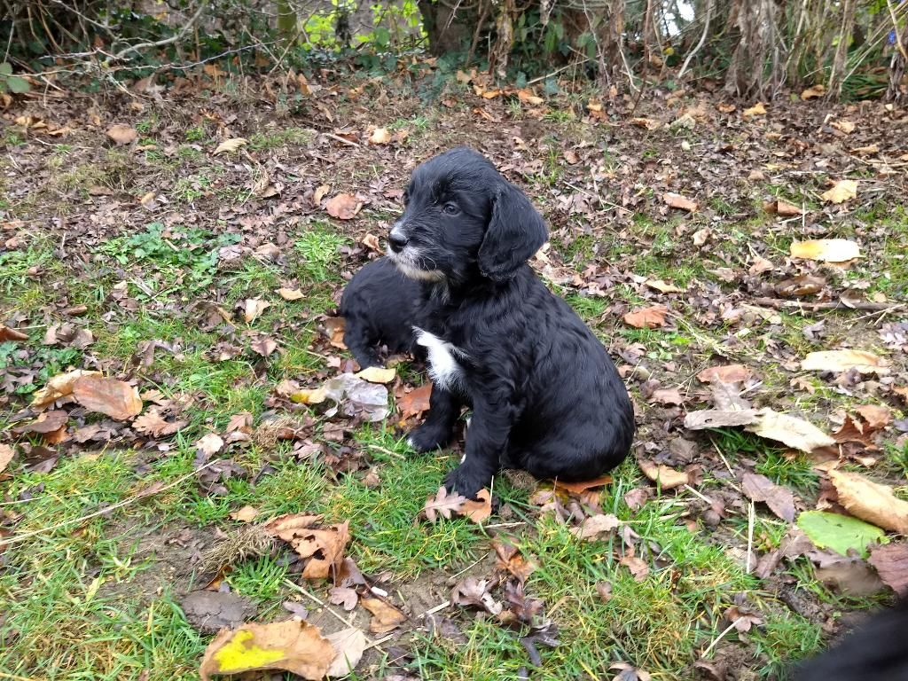 Cockapoo Puppies Health Tested Parents In Shrewsbury On Freeads Classifieds Cockapoos Classifieds Cockapoo Puppies Cockapoo Puppies