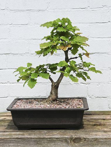 Oak Bonsai Tree Quercus Robur On Outdoor Display Bench Bonsai Tree Bonsai Tree Types Japanese Bonsai