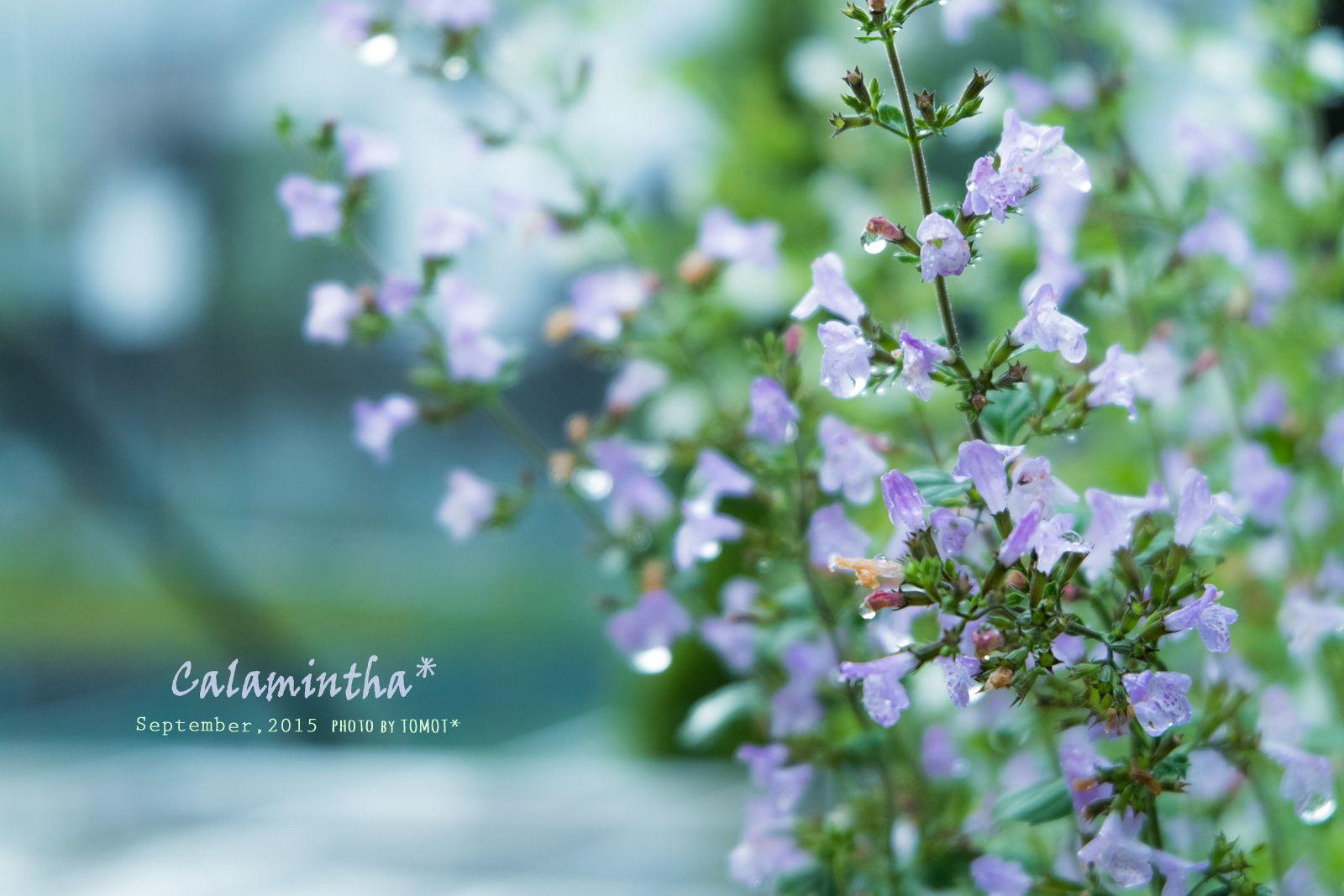 ハーブの一種 カラミンサ 淡紫色と白の色違い ミントの香りも 花 ガーデニング カラミンサ ガーデニング 花
