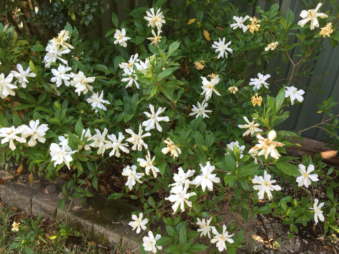 Gardenia blooms fills the backyard with sweet perfume of summer