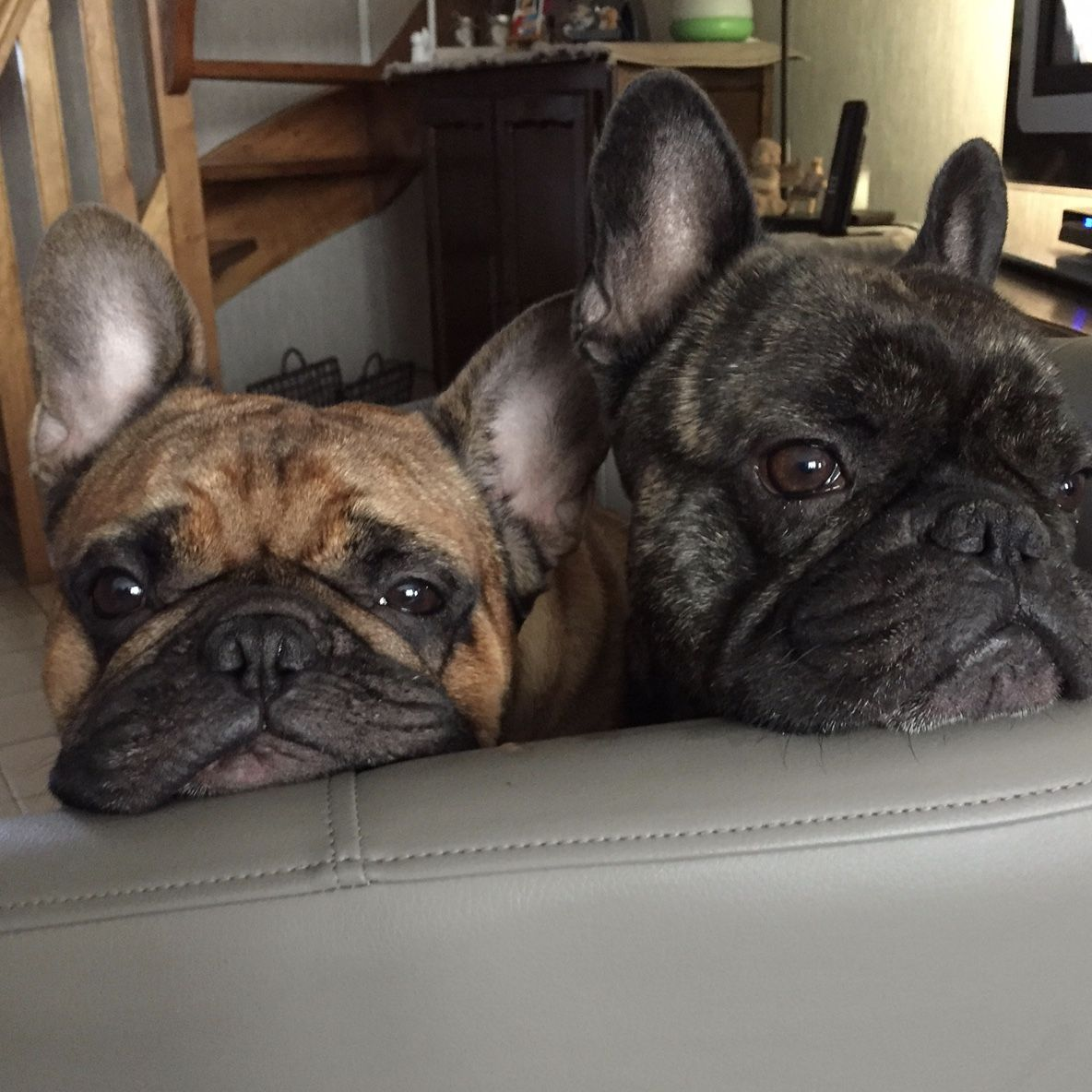 2 Bored Frenchies French Bulldogs Boxer Dogs Brindle Boxer