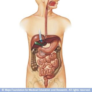 شاهد كيف يعمل الجهاز الهضمي عند الانسان Digestive System Digestive System Organs Human Anatomy And Physiology