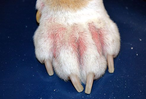 Why Does My Dog Lick His Paws Ouch Pawtorium Dog Allergies