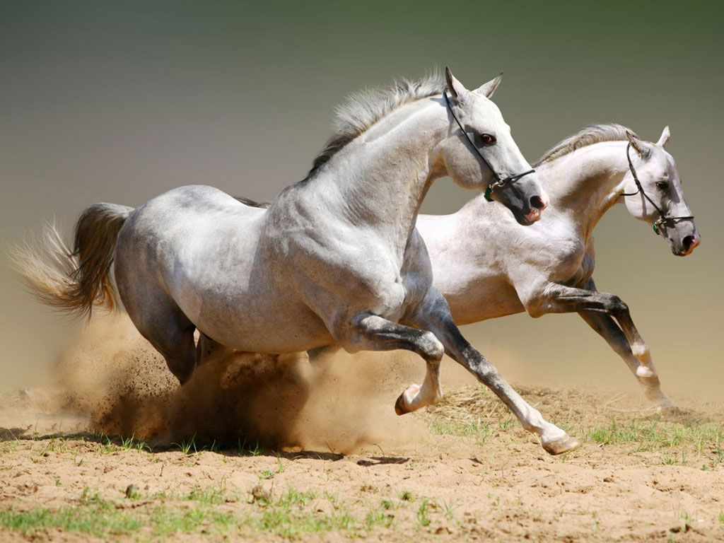 Papel De Parede Cavalos Brancos Equinos Pinterest Cavalos  -> Fts De Cavalo Rm Adesivo Pra Quarto