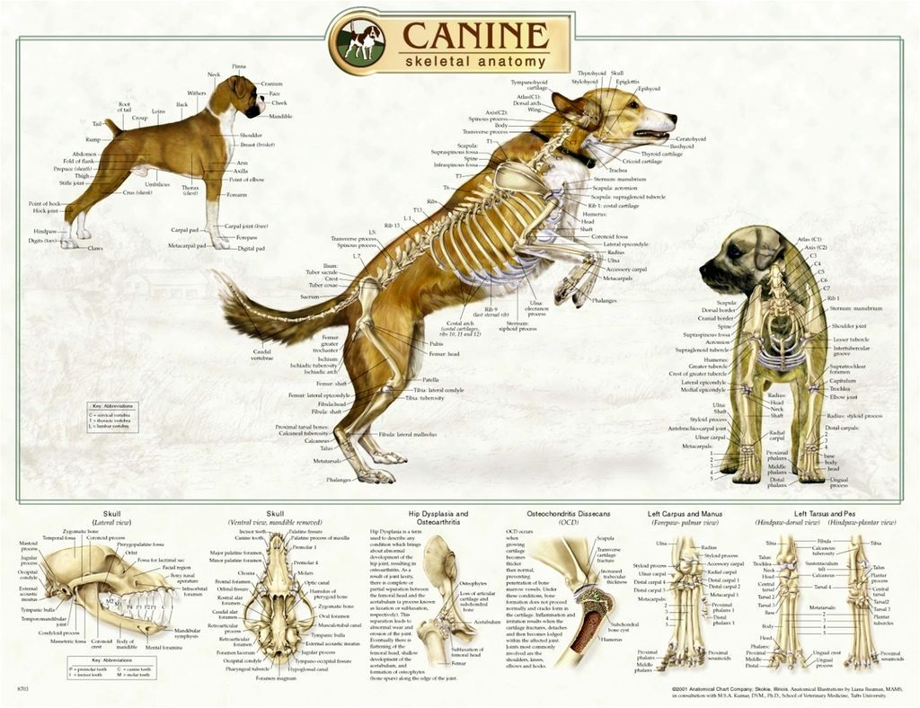Bone Structure Dog Anatomy On Animal Anatomy Horse Anatomy And Cat ...