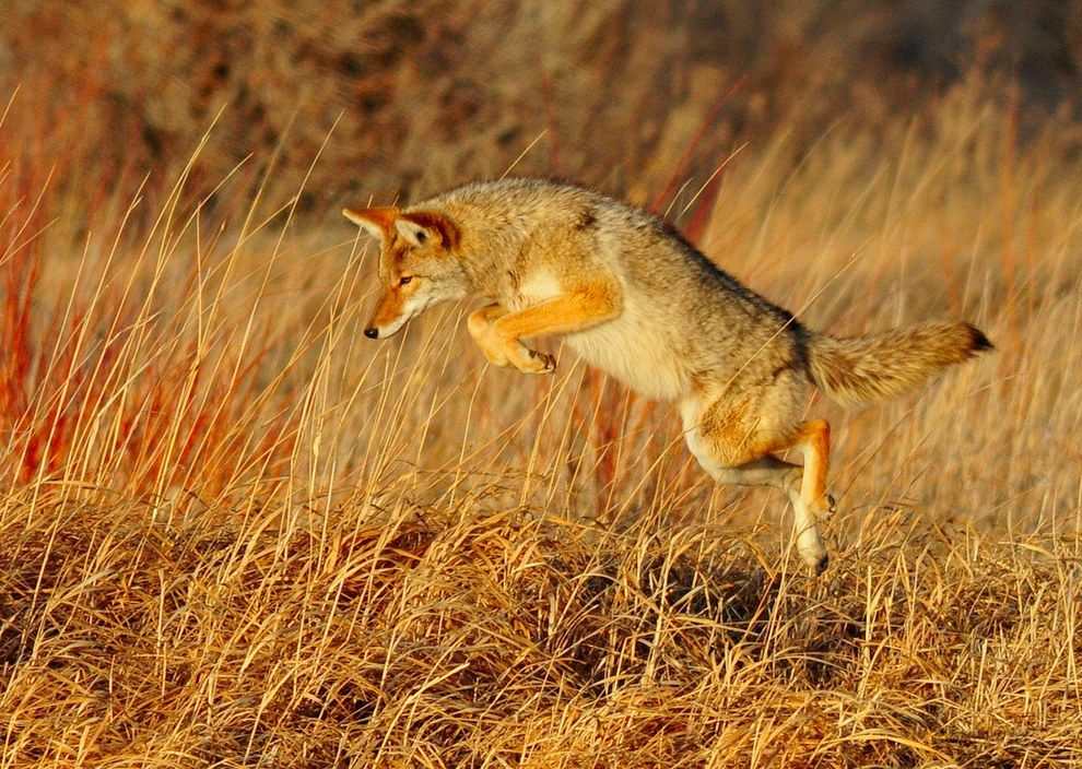 And The Coyotes Hunt Coyote Facts Coyote Hunting Animals