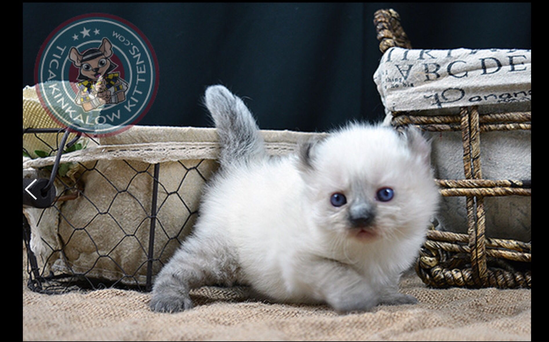 American Curl Kitten Available Munchkin Kitten Munchkin Kittens For Sale American Curl