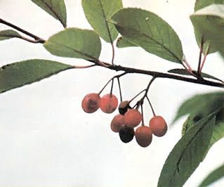 Photo of Wild Chokecherry Recipes – Real Food – MOTHER EARTH NEWS –  With these chokecher…