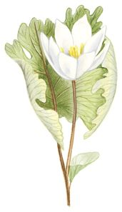 bloodroot  - color drawing | Botanical Prints in 2019