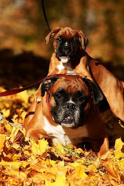Boxer Puppy With The Smart Bump On That Little Noggin Boxer Dogs Boxer Puppies Boxer Puppy