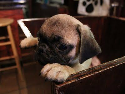 Pug In A Drawer Pugs Puppies Cute Baby Animals