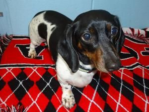 Adopt Rex On Adoptable Dachshund Dog Dogs Dachshund