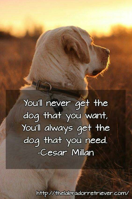 Pin By Kaitlynn Harrison On Lab Love Dog Quotes Giant Dogs Dogs