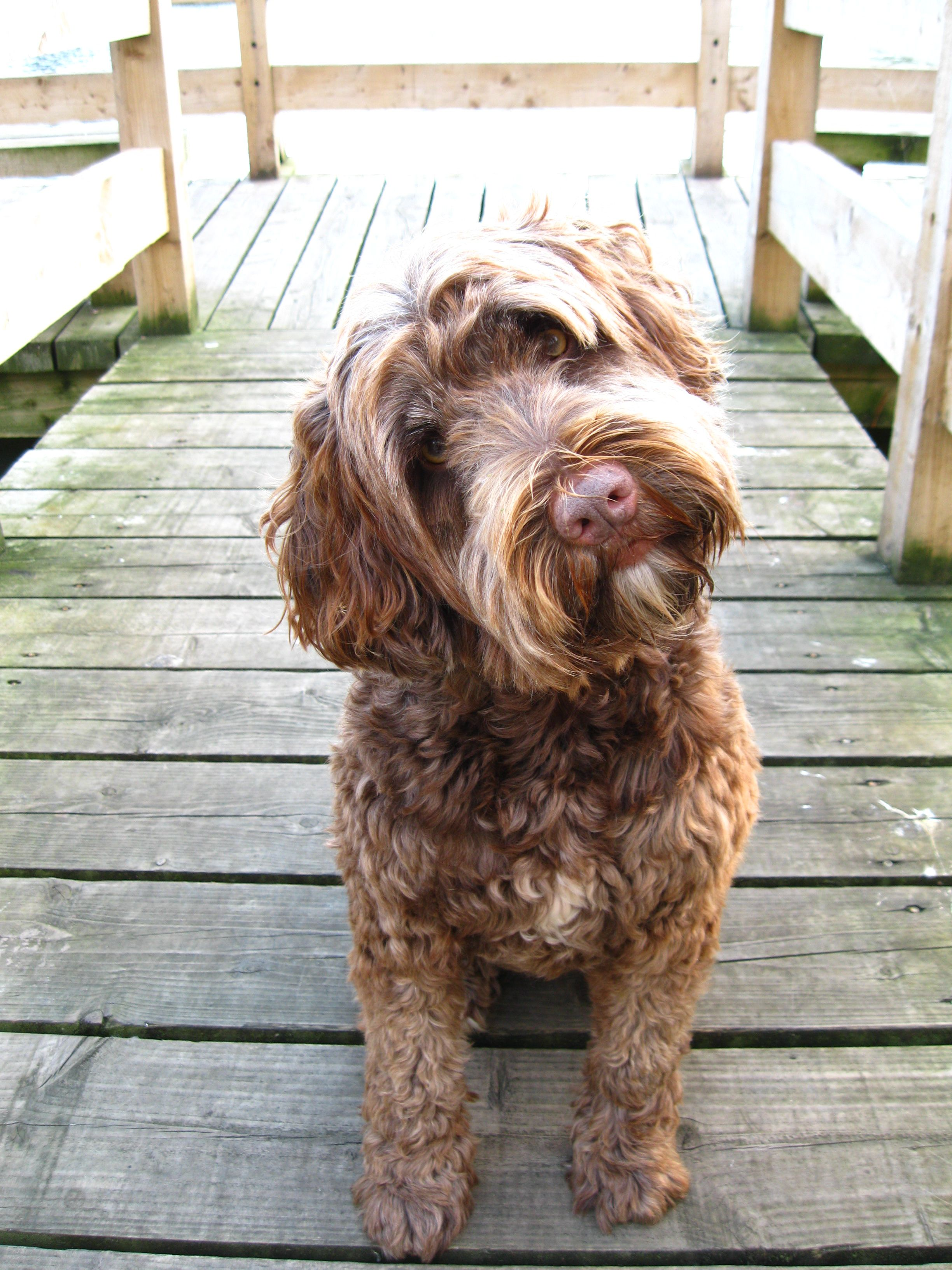 Portuguese Water Dog How Much Is That Doggie In The