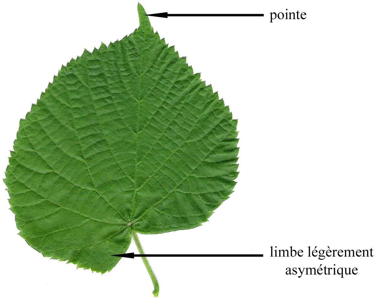 tilia platyphyllos tilleul grande feuille tilleul de hol arbustes et arbres feuilles. Black Bedroom Furniture Sets. Home Design Ideas