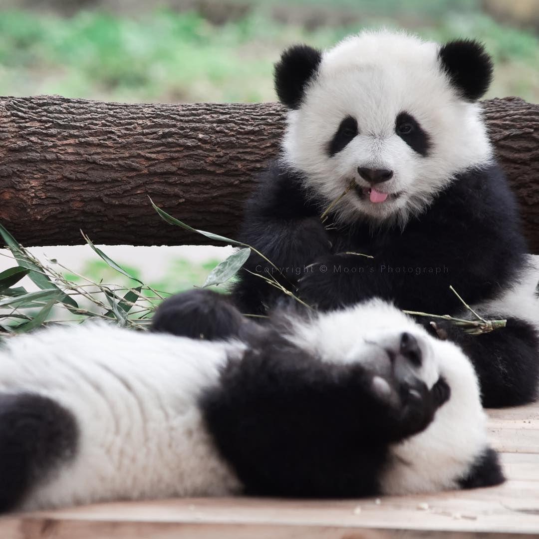 Hình Ảnh · Pandas Gấu Trúc Bé Con, Thú Con, Động Vật Ngộ Nghĩnh, Gấu,