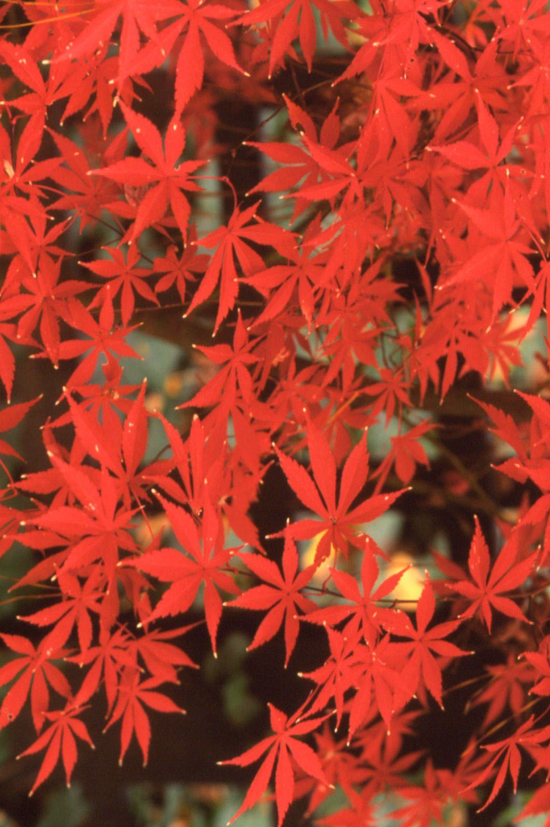 18 Japanese Maple Trees You Should Definitely Plant in Your Yard
