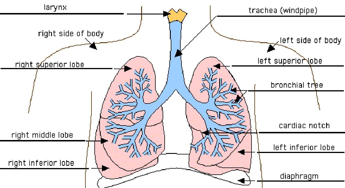Inside diagram of the heart lungs anatomy pinterest lungs inside diagram of the heart lungs ccuart Images
