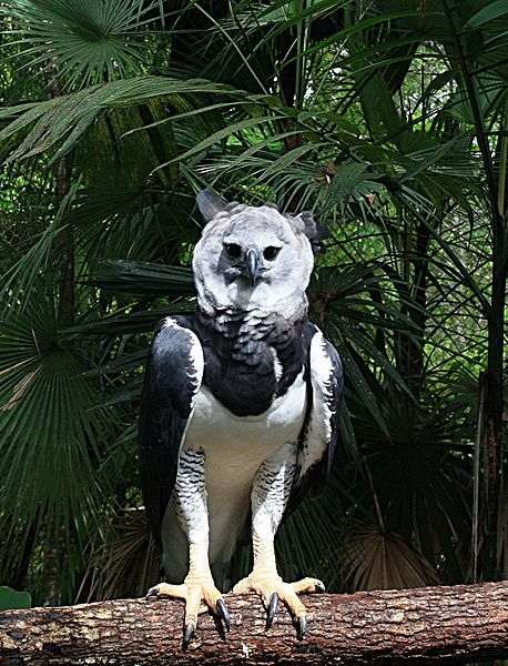 harpy eagle harpia harpyja sometimes known as the american harpy