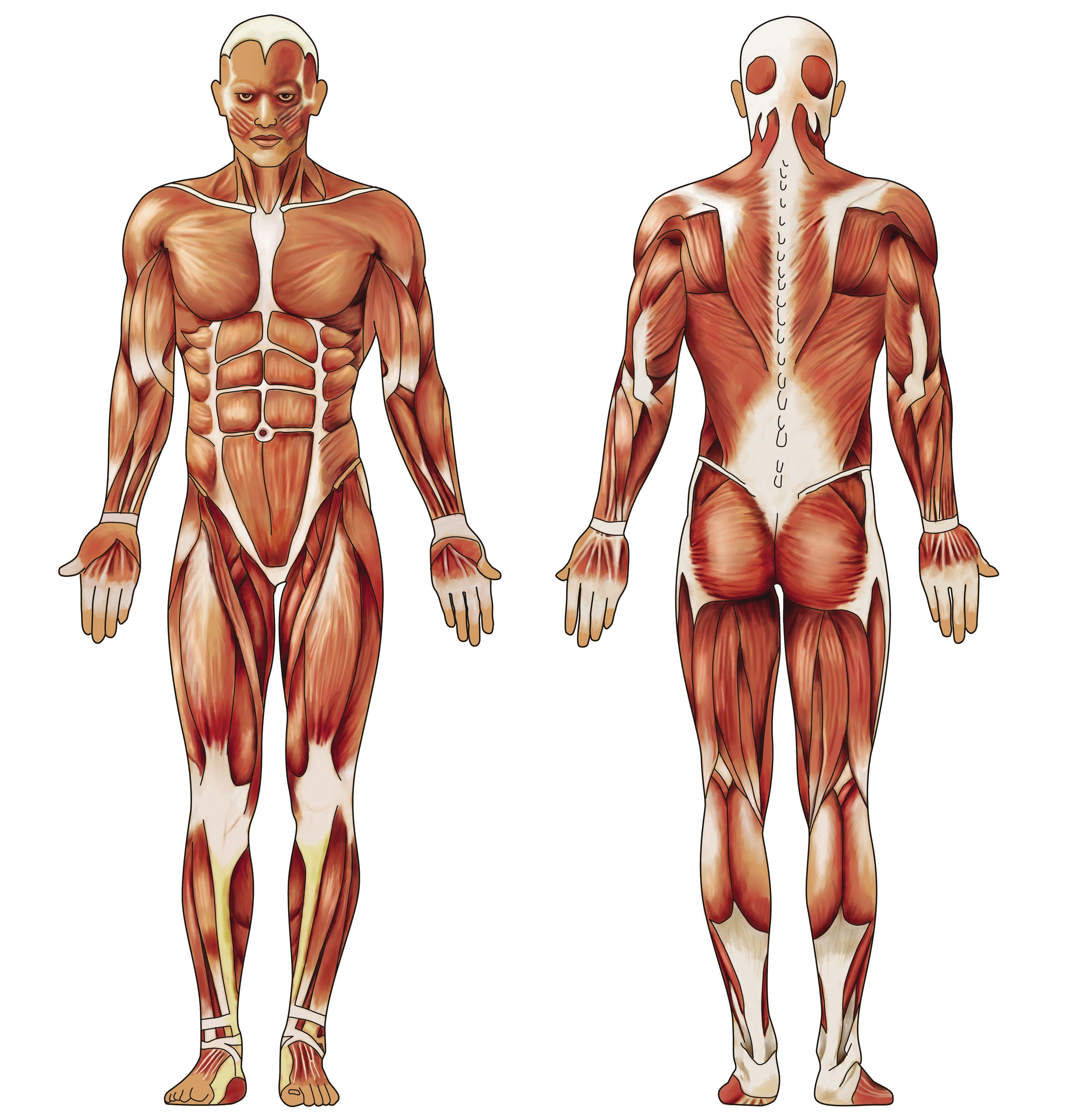 часы расположение мышц на теле человека фото пвх курить пользоваться