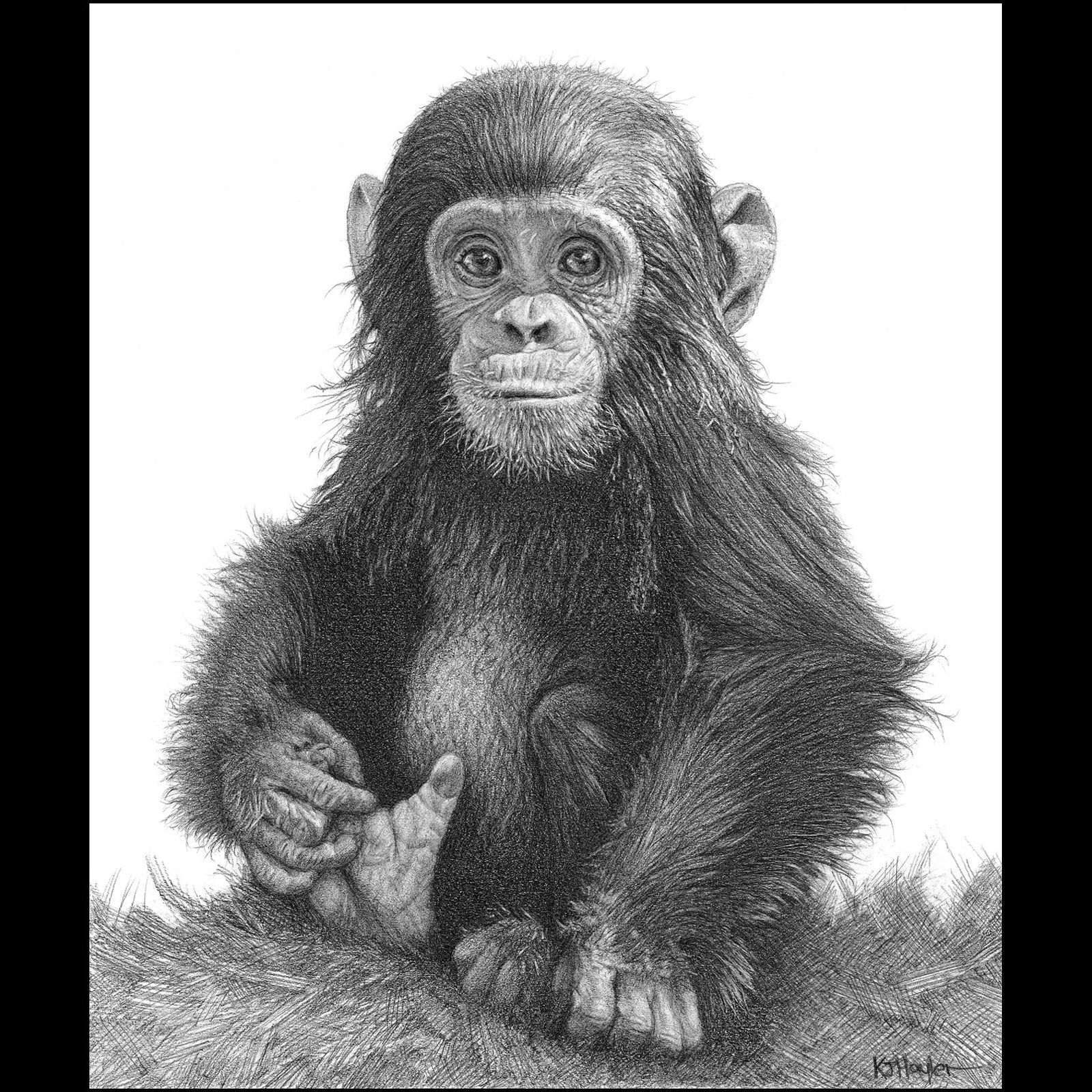 wildlife wall animal art print picture drawing b w monkey baby chimp