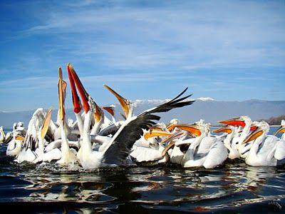 Lake Kerkini Dalmatian Pelicans