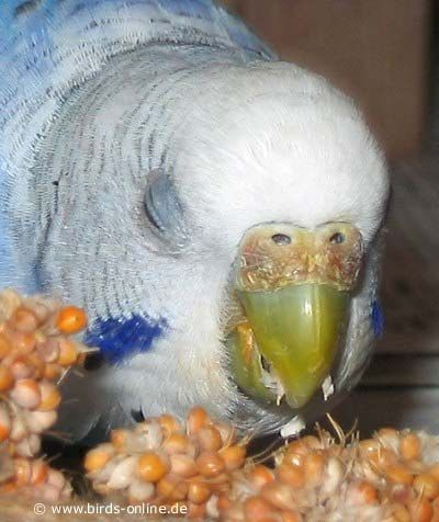Female budgie | Budgies | Budgies, Female, Birds