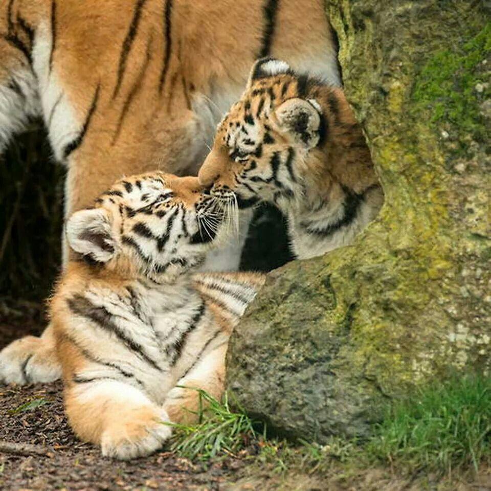 (=`ェ´=) Big cats, Wild cats, Animals wild