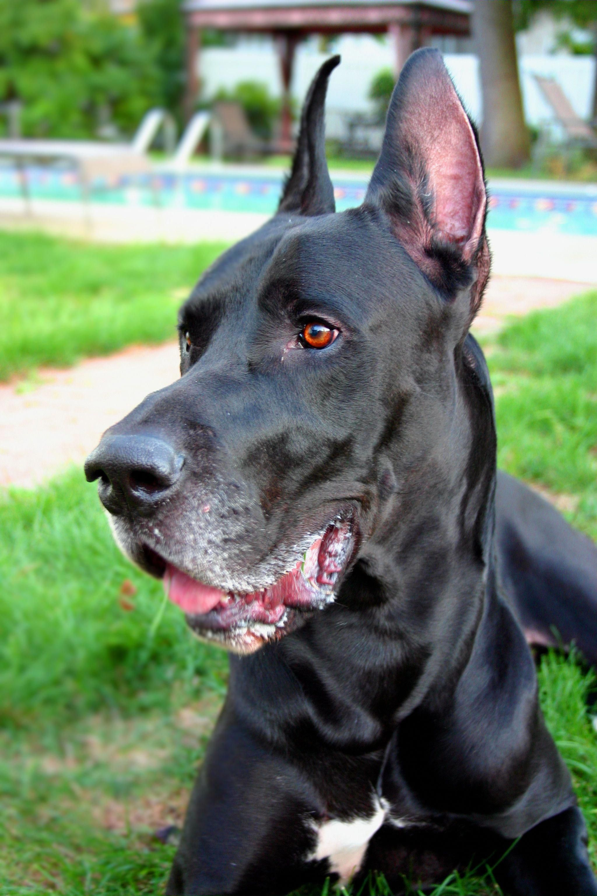 Great Dane Greatdaneblack I Love Dogs Great Dane Black Dog