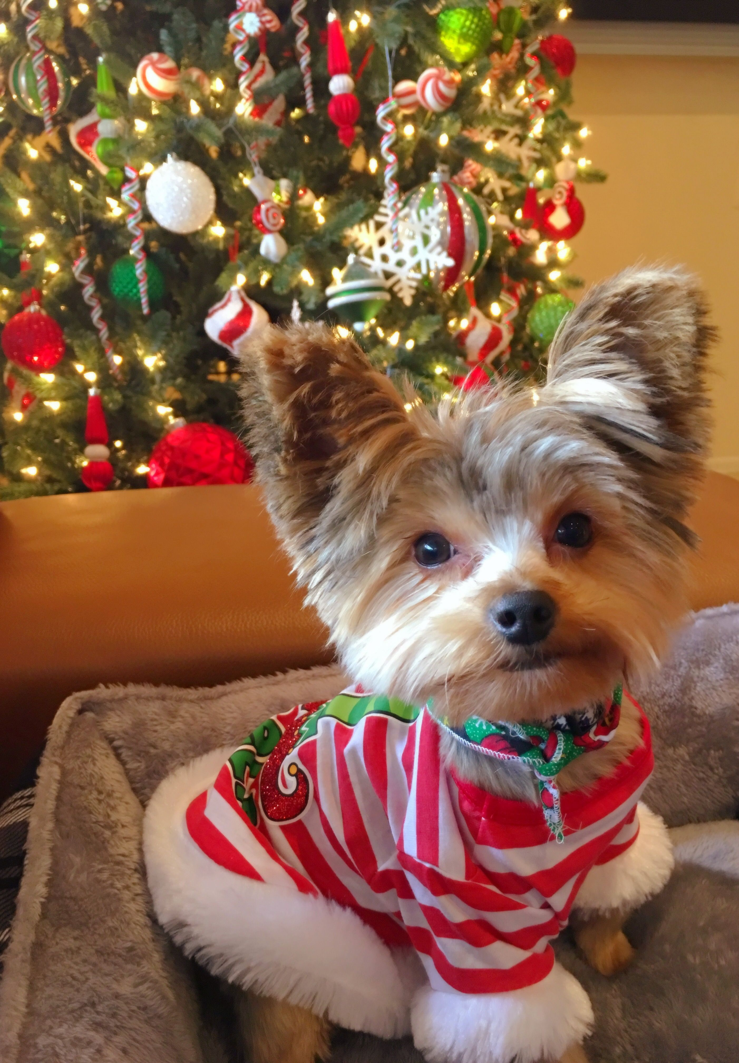 Duke Of Yorkie Happy 2nd Christmas In 2020 Yorkie Lap Dogs Yorkshire Terrier