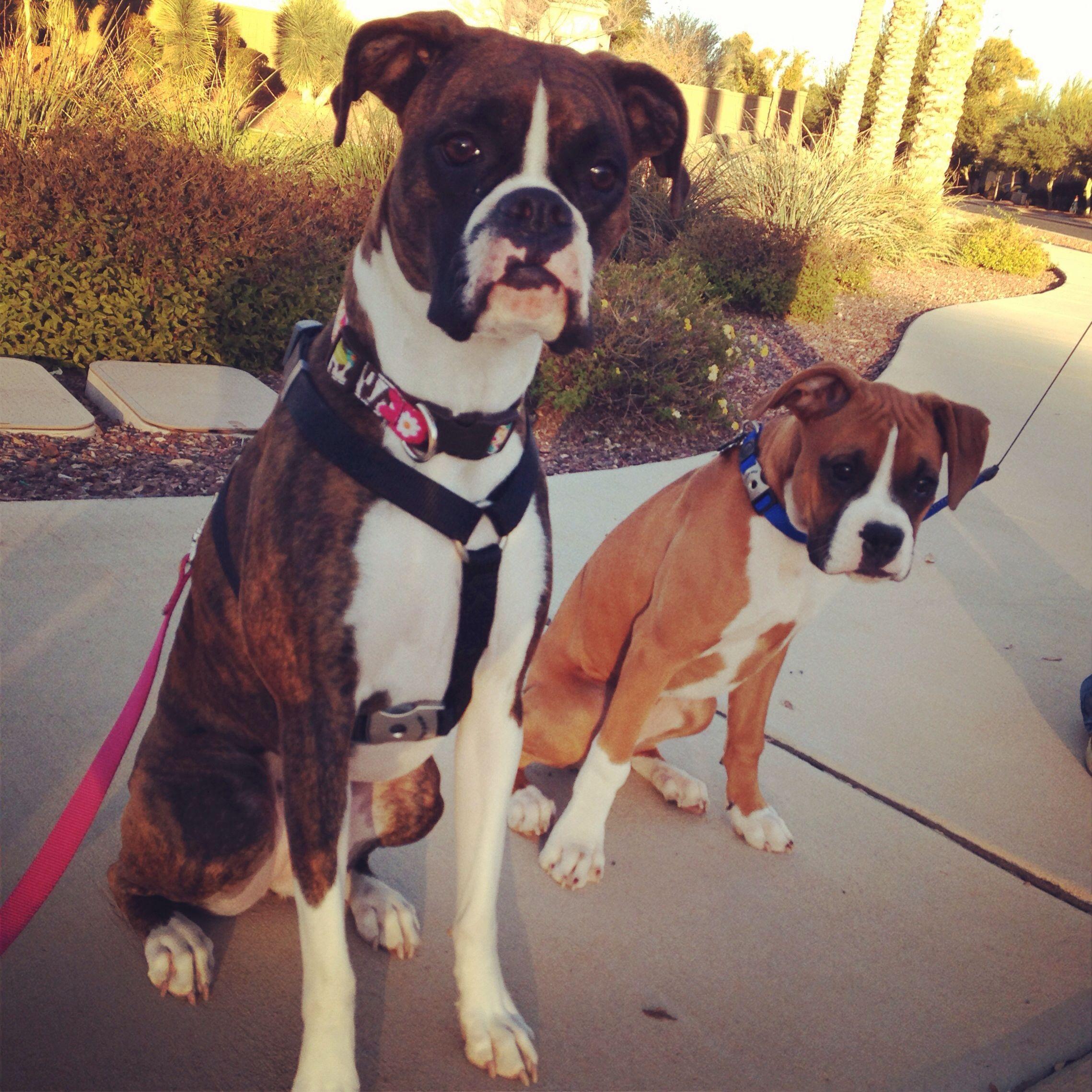 Arizona Boxer Pups Boxer Puppies Dogs Animal Advocacy