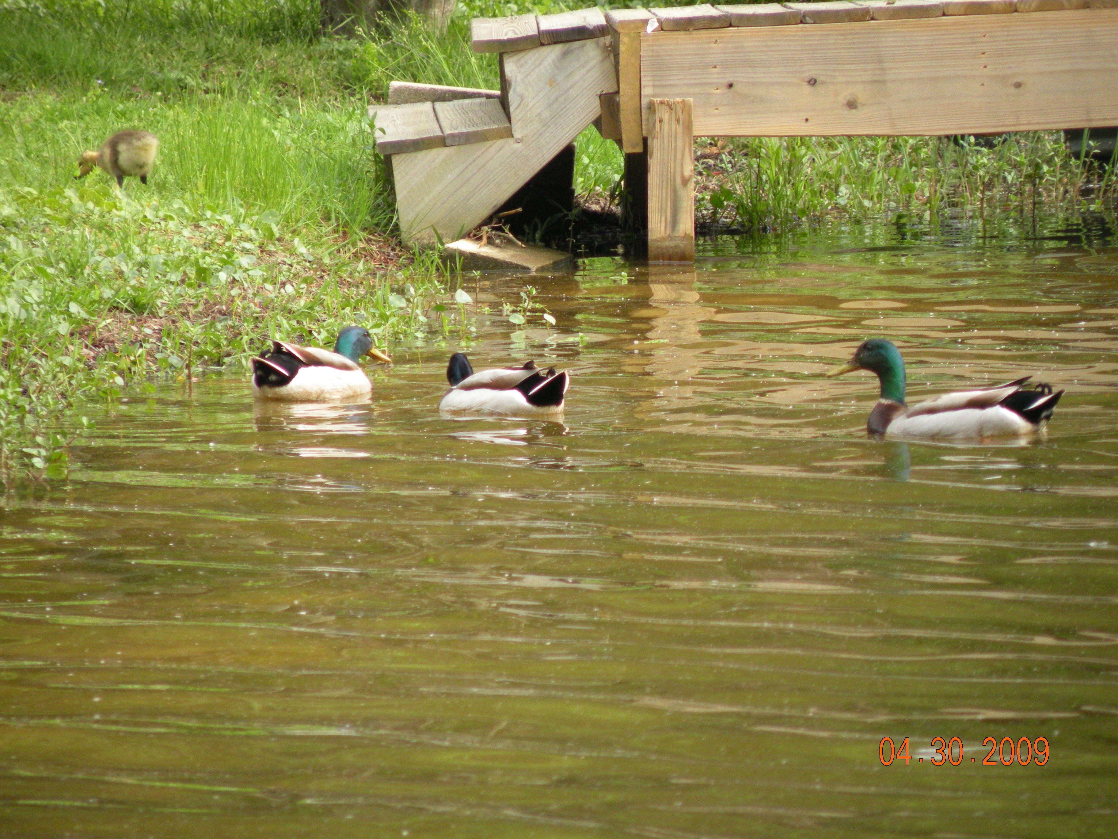 Mallards at Big Lake Mountain lakes, Big lake, Lake
