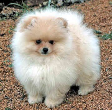 I LOVE Pomeranians... throw a little white on the face and it ...