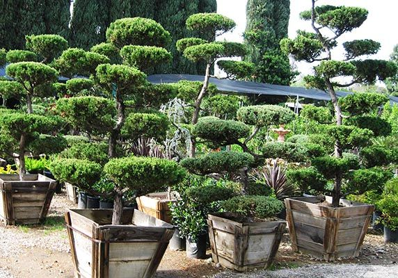 Hollywood Juniper Tops Nursery Los Angeles San Fernando Valley Bonsai