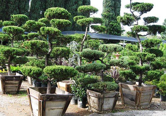 Hollywood Juniper Tops Nursery Los Angeles San Fernando Valley Bonsai