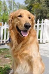 Adopt Buffett On Dogs Golden Retriever Dogs Kids Golden