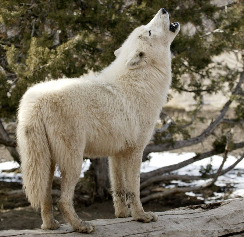 White Wolf Pup Howling