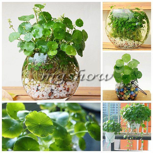 60pcs Rare Hydrocotyle Vulgaris Pilea Germination Seeds Green Water Soil Plant Akvaryum