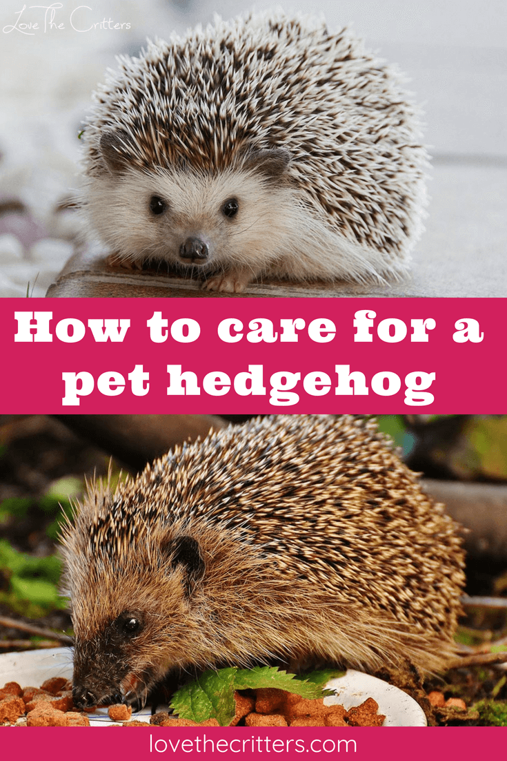How To Care For A Pet Hedgehog Hedgehog Pet Hedgehog Care Pets