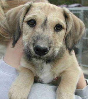 Mutt Puppies and Hybrid Vigour